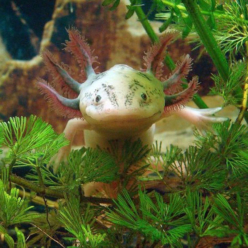 Mexican amphibian axolotl