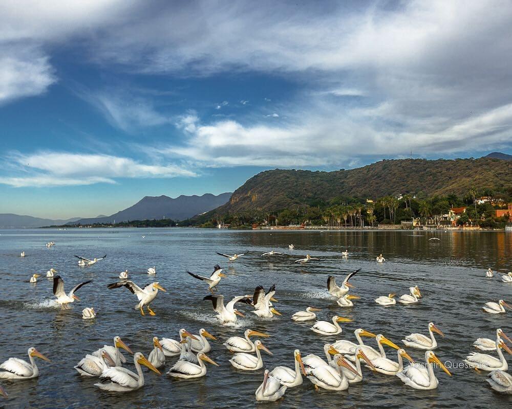 Pelicans chapala lake
