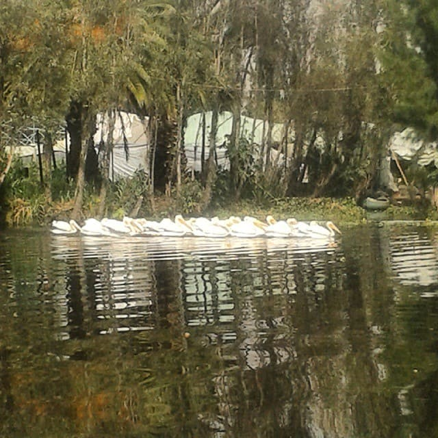 White pelicans on the water of lake xochimilco