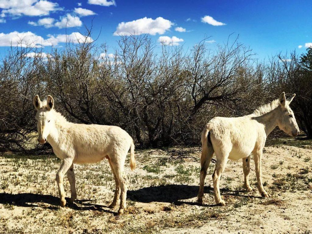 Wild burros on Laguna Salada Mexicali